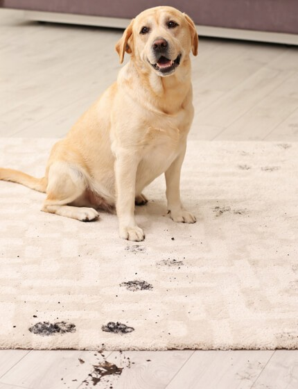 Mud stain on rug by dog | Warnike Carpet & Tile